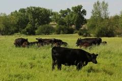 czarny angus umaszczenia podstawowe bydła czarne i czerwone byk
