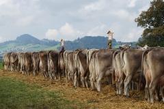 brown swiss umaszczenie podstawowe bydła neutralne dzikie