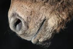 Skręcone wibrysy, curly horse, stagcreekfarm.com