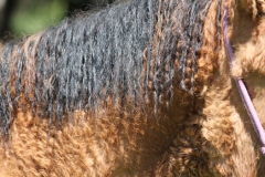 kręcona grzywa, curly horse, stagcreekfarm.com