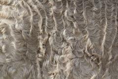 kręcona sierść, curly horse, stagcreekfarm.com