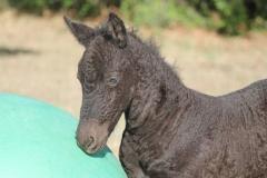 curly horse, stagcreekfarm.com