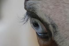 kędzierzawe rzęsy, curly horse, stagcreekfarm.com