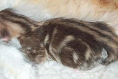 bursztynowe kocie, skogkattslingan.com