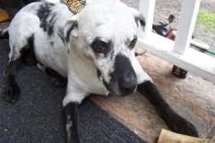 vitiligo bielactwo pies honesttopaws.com