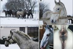 vitiligo bielactwo koń researchgate.net