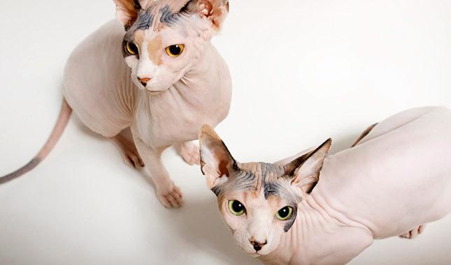 hr - powodująca praktycznie całkowity brak sierści u kotów