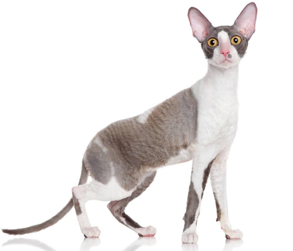 r - w rasie Cornish Rex odpowiada ze pojawienie się fal i loków. Koty te nie posiadają włosów rdzeniowych