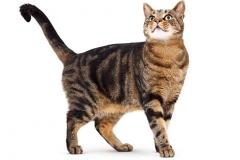L to allel dominujący, który warunkuje krótką sierść u kotów (LL, Ll)