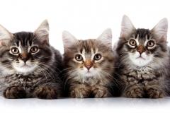 l – dwie recesywne kopie tego allelu powodują powstanie kota długowłosego