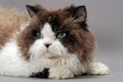 Se- powodujący mięciutkie i kręcone futerko u kotów