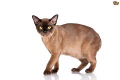 mutacja burmska (cbcb), pets4homes.co.uk