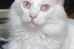 mutacja biała albinotyczna niebieskooka (caca), 66.media.tumblr.com