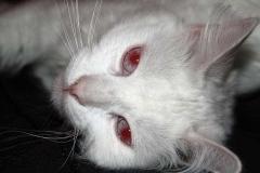 mutacja biała albinotyczna czerwonooka (cc), pictures-of-cats.org