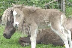 pieczarkowy po urodzeniu (kellas-stud.co.uk)