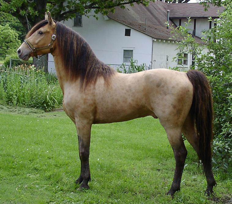 Classic_Champange_Stallion