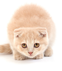 niebieski kot