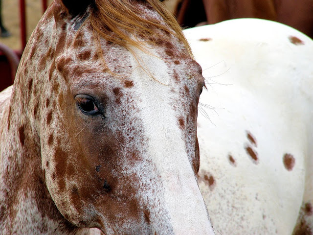 Wrodzona Stacjonarna Nocna Ślepota u Appaloosa/ Congenital Stationary Night Blindness (CSNB)