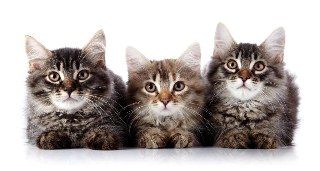 długowłose koty