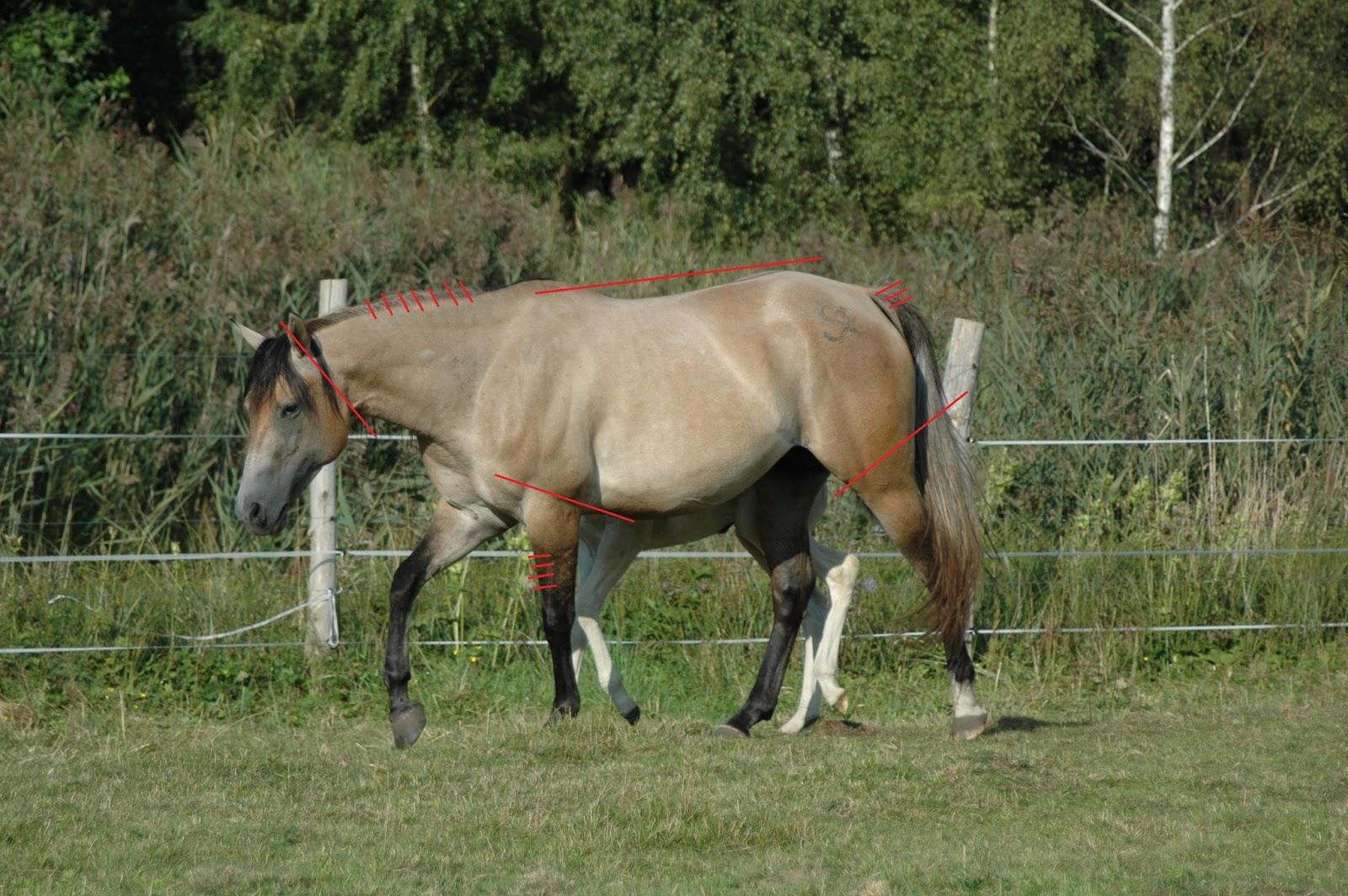 Klacz MCR Skips Speedy jest przykładem konia bułanego, którego cechy tego umaszczenia są bardzo dobrze widoczne. Rozjaśniona została tylko kłoda zwierzęcia wraz z szyją. Głowa oraz partie nóg powyżej podpalań pozostały nie zmienione (dla ułatwienia zaznaczona je czerwoną linia). Posiada również pręgowane kończyny oraz pręgę na grzbiecie (Tutaj musicie mi wierzyć na słowo, że ją ma. Niestety na tym zdjęciu jej nie widać.) Ostatnią cechą, którą posiadają konie bułane są jaśniejsze pasemka włosia w grzywie i ogonie. (drrquarterhorses.pl)