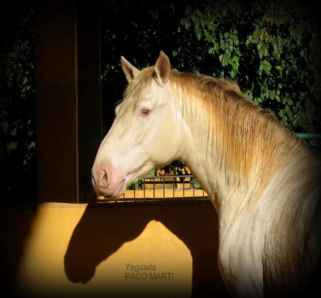 Zielone oczy jelenio-perłowego Debitoso PM znacznie ułatwiają określenie jego genotypu. (facebook.com/YeguadaPacoMarti)
