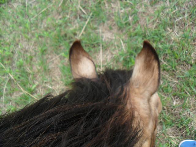 Przykład konia złoto-jeleniego bez jasnych pasemek w grzywie i ogonie. Identyfikacja takiego osobnika jest ułatwiona przez ten fakt (koń w trakcie linienia). (R. Wilisowska)