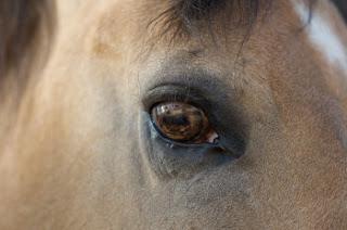 Rozjaśniona tęczówka konia jeleniego i grafitowa skóra... (horse-report.com)