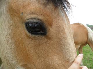 Łatwo zauważalne rozjaśnione oczy konia jeleniego. (horse-report.com)/(R. Wilisowska)