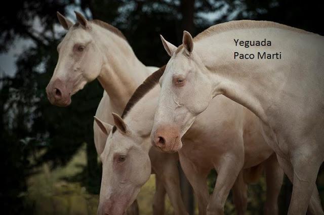Różnice w kolorycie skóry (dwa po lewejj pseudo-kremowe, a po prawej najprawdopodobniej cremello/perlino lub trudna do odróżnienia wersja pseudo-kremowego). (facebook.com/YeguadaPacoMarti)