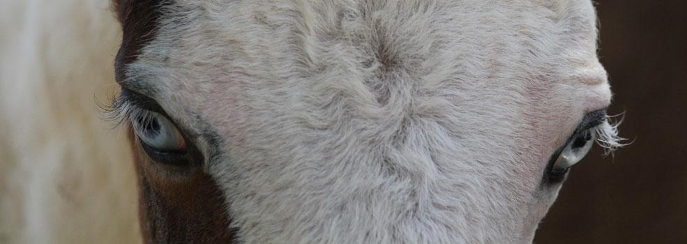 Curly Horse – kędzierzawe konie