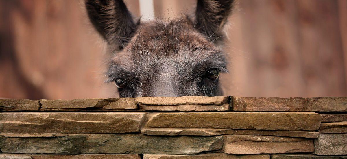 Lama- umaszczenia podstawowe