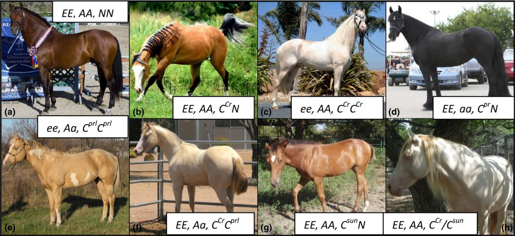 rozjaśnienie sunshine u koni