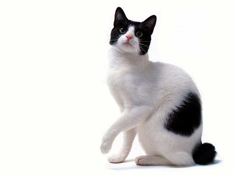 Biały kot i wzory białych plam