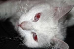 umaszczenie albinotyczne czerwonookie
