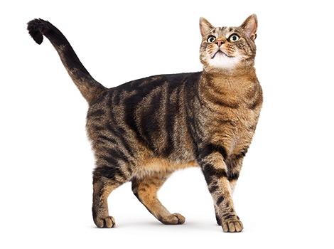 krótkowłosy kot