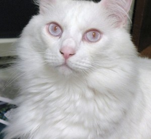 umaszczenie albinotyczne niebieskookie