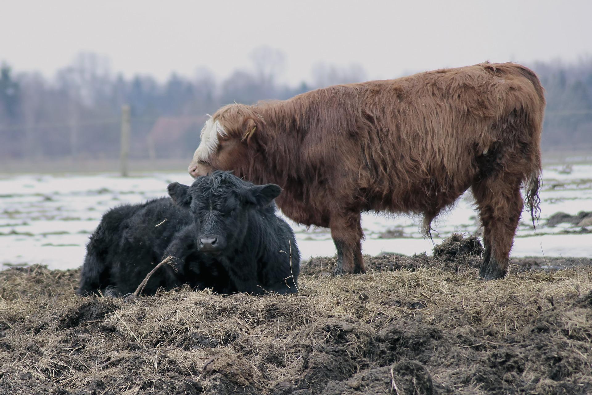 Umaszczenia podstawowe bydła
