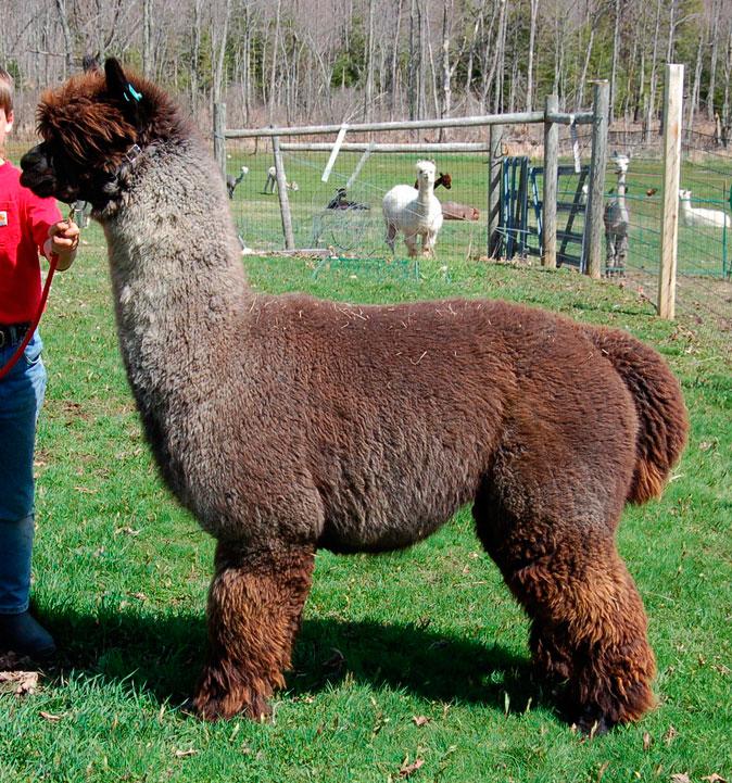 Brązowy deresz, www.alpacainfo.com