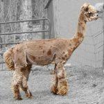 Klasyczny płowy Appaloosa www.howlinghillfarm.com