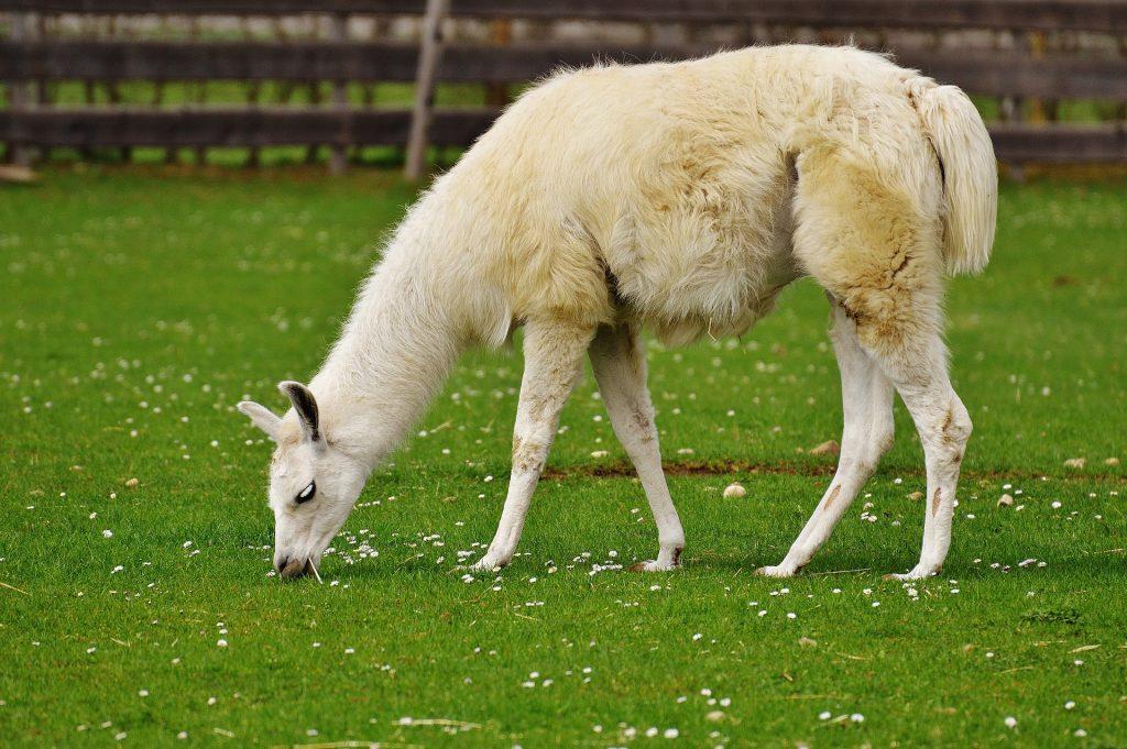 Biała lama