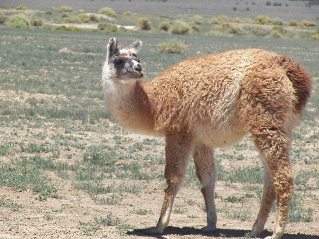 Średnio płowa lama